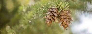 hero-pine-cone